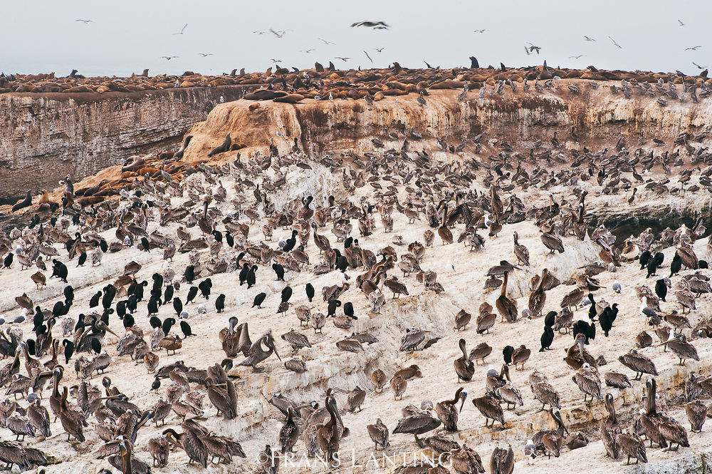 Brown pelicans, Brandt's cormorants and California sealions, Ano Nuevo Island, Monterey Bay, California, USA