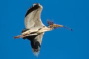 Gray Heron in flight with a branch in it's beak. Working on building nest   Gråhegre i lufta med en gren i nebbet. Arbeider med å bygge reir.