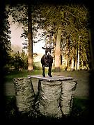 Kate Hunt's goat, Frida, standing on platform between tree stumps