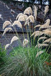 Cortaderia richardii - Pampas grass