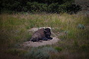 Pregnant bison cow, or American buffalo, about to give birth near Slough Creek, Yellowstone National Park. There's around 3,700 bison the park, of the Plains Bison subspecies. Yellowstone may be the only place where bison have not been hunted out of existence,  although the population plummeted due to poaching at the turn of the 20th century.   The population is still under threat - when they roam outside the park boundaries, and from claims that they transmit disease such as brucellosis to  cattle.