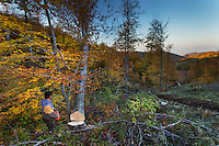 Forest worker with chainsaw and freshly cut large Common beech (Fagus sylvatica) tree falling down. Southern Carpathians, Mehadia, Caras Severin, Romania.