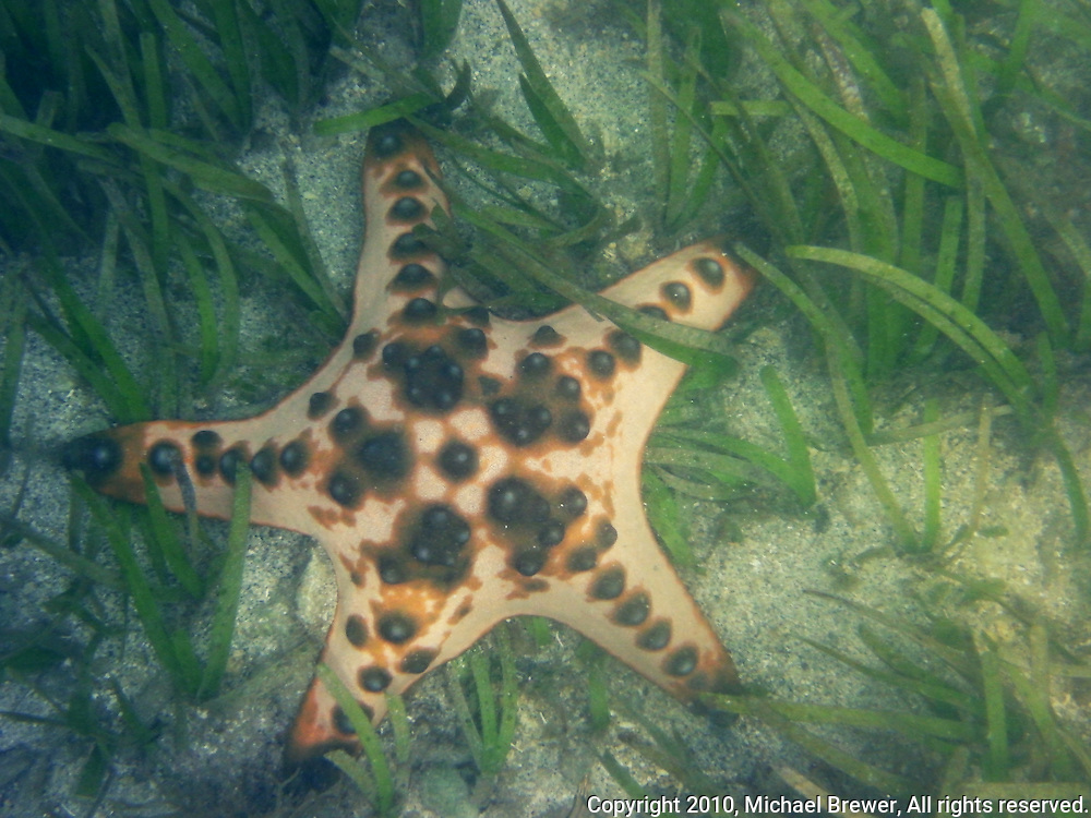 A really cute starfish lying in sea grass off Sanur, Bali, Indonesia.