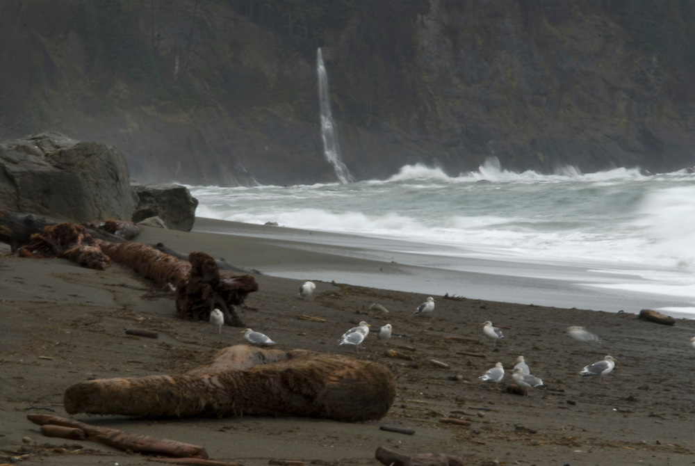 Driftwood with Waterfall  and Sea Gulls at Third Beach, Third Beach, Olympic National Park, Washington, US