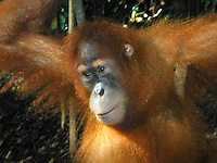 A young Orangutan in Bukit Lawang, Sumatra Indonesia. Bukit Lawang is a small tourist village at the bank of Bahorok River in North Sumatra province of Indonesia. Bukit Lawang is known for the largest animal sanctuary of Sumatran orangutan, around 5,000 orangutans occupy the area.