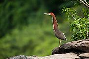 Rufescent Tiger Heron (Tigrisoma lineatum)<br /> Rainforest<br /> Rewa River<br /> GUYANA. South America<br /> RANGE: Argentina, Belize, Bolivia, Brazil, Colombia, Costa Rica, Ecuador, French Guiana, Guyana, Honduras, Mexico, Nicaragua, Panama, Paraguay, Peru, Suriname, Trinidad and Tobago, Uruguay, and Venezuela.