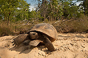 Gopher Tortoise (Gopherus polyphemus) Male at burrow<br /> The Orianne Indigo Snake Preserve<br /> Telfair County. Georgia<br /> USA<br /> Threatened species in Georgia<br /> HABITAT & RANGE: Longleaf pine & oak forests & sandhills & areas of good ground cover. Southeast USA