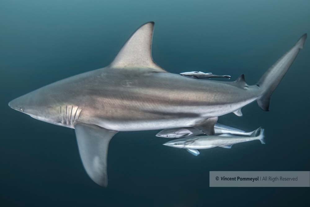 Blacktip shark-Requin bordé (Carcharhinus limbatus), South Africa.<br />