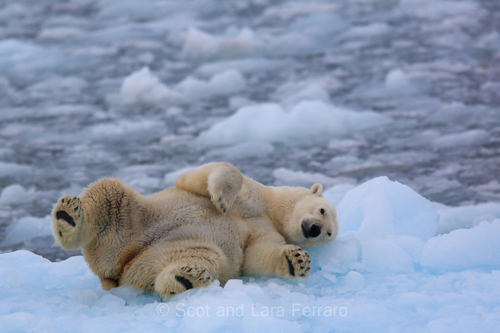 A Polar bear rolls on an iceberg scratching his back.  The iceberg is just off the Austfonna Glacier in Nordaustlandet Svalbard.