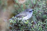 Grey Warbler, New Zealand