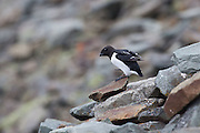 Little Auk, Svalbard
