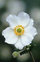 Anemone x hybrida 'Honorine Jobert' - Japanese anemone