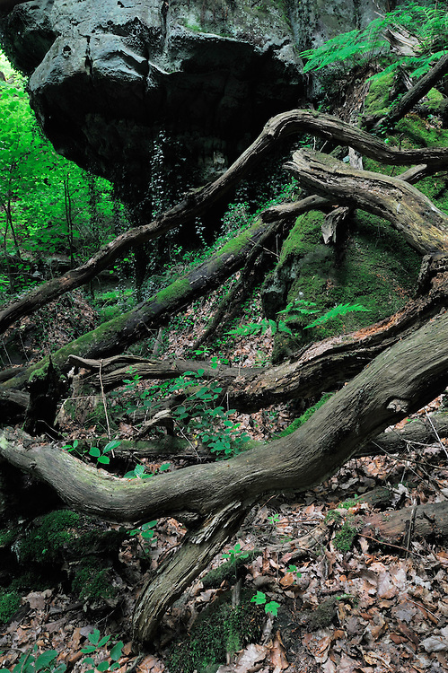 Dead Trees and Sandstone formation, Mullerthal trail, Mullerthal, Luxembourg