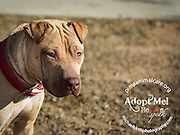 Three year old Fettichini is listed as a Chinese Sharpei mix.