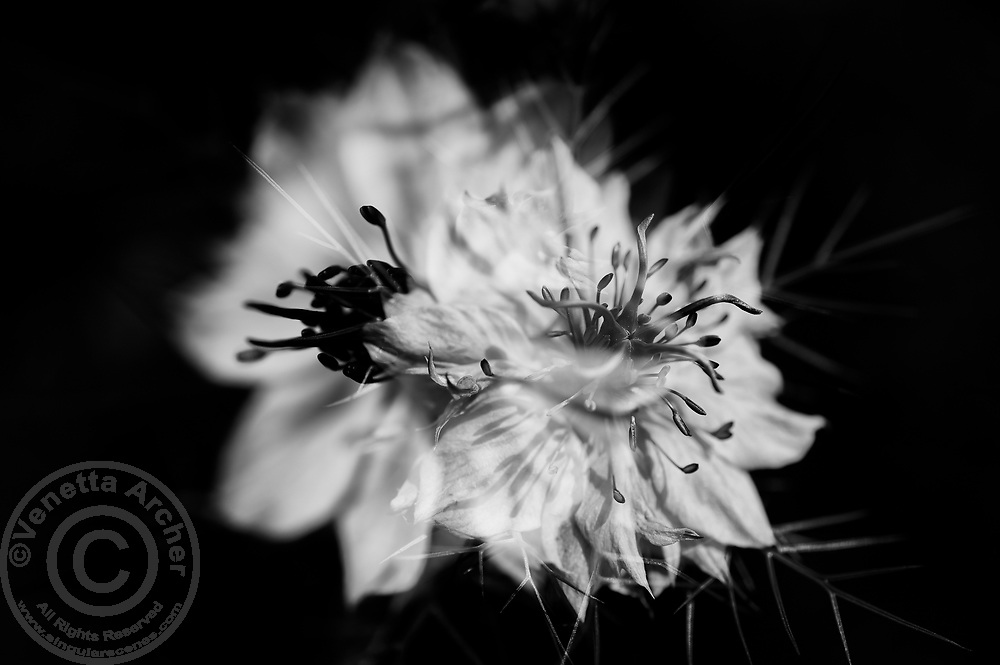 In-camera double exposure of Nigella Damascena.