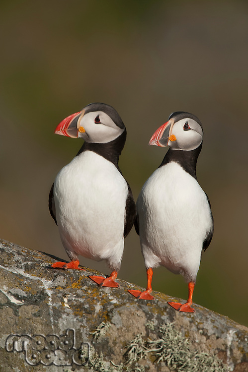 Two Atlantic Puffins perch side by side Runde island Norway
