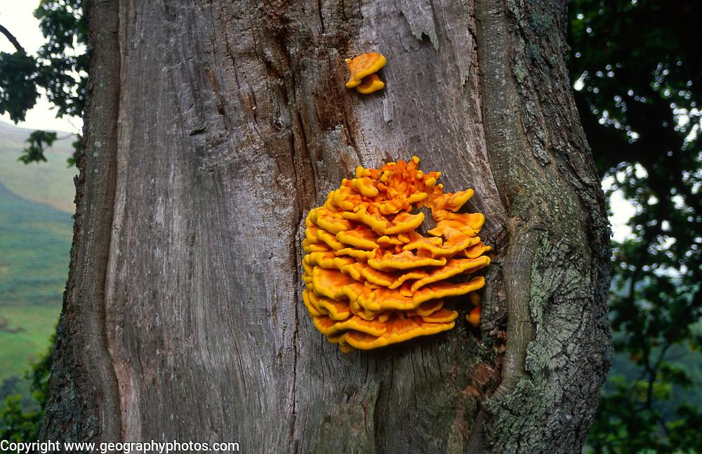 AWY78A Chicken of the woods fungus laetiporus sulphureus Yorkshire Dales, England