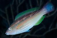 Parrotfish.