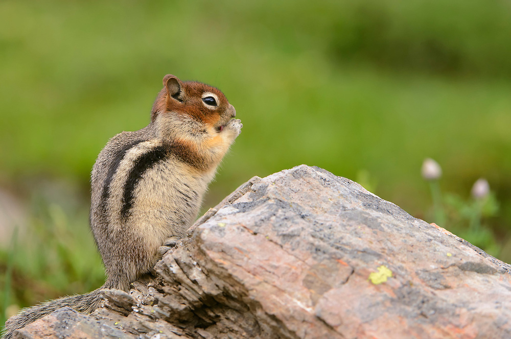 Golden-mantled Ground Squirrel (Spermophilus lateralis) eating on a rock, Northern Montana