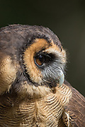 Brown wood owl in at the Center for Birds of Prey November 15, 2015 in Awendaw, SC.