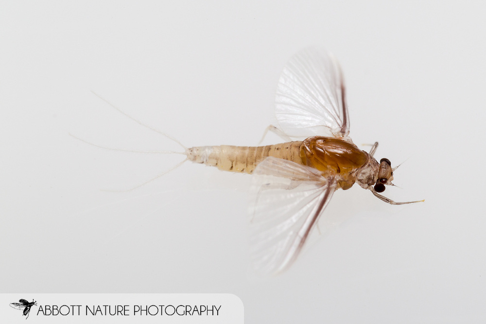 Small Squaregilled Mayfly (Caenis sp.)<br /> TEXAS: Jasper Co.<br /> Brookeland/Lake Sam Rayburn @ 505 Co Rd 212<br /> 11.June.2015<br /> J.C. Abbott #2739 &amp; K.K. Abbott