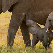 A herd of elephants was on the move in Maasai Mara under the morning sun, while this calf trying its very best for his share of milk.