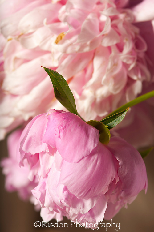 Macro photography of pink peony flower
