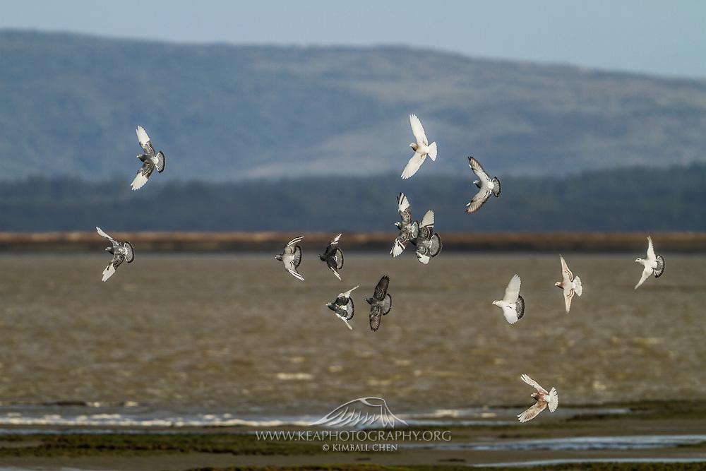 Flock of pigeons in flight at Invercargill Estuary, Southland, New Zealand