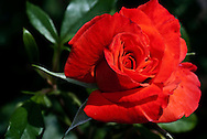 Rose Poppy Flash