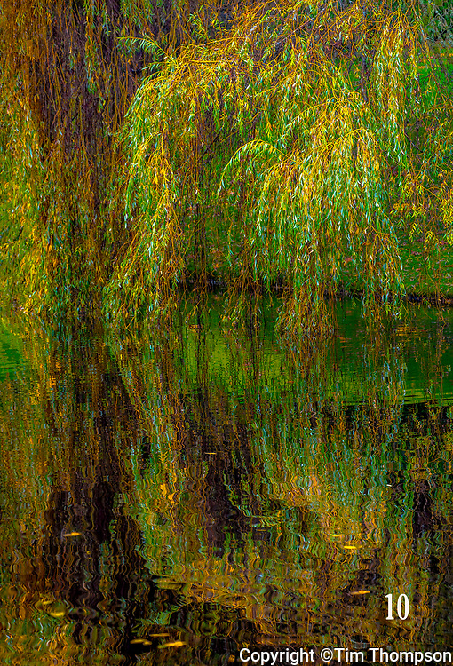 willow tree in fall color on pond in Blodel Reserve