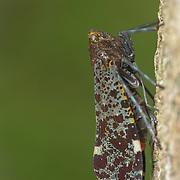 Penthicodes variegate lantern bug at Kaeng Krachan National Park, Thailand.