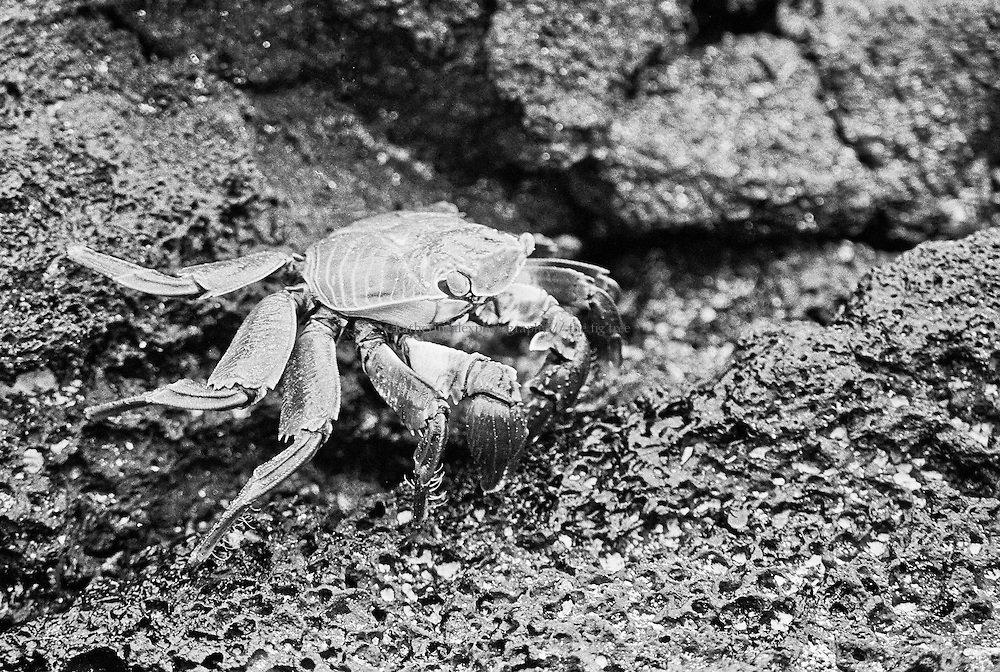 Sally lightfoot B&amp;W, Galapagos.<br />
