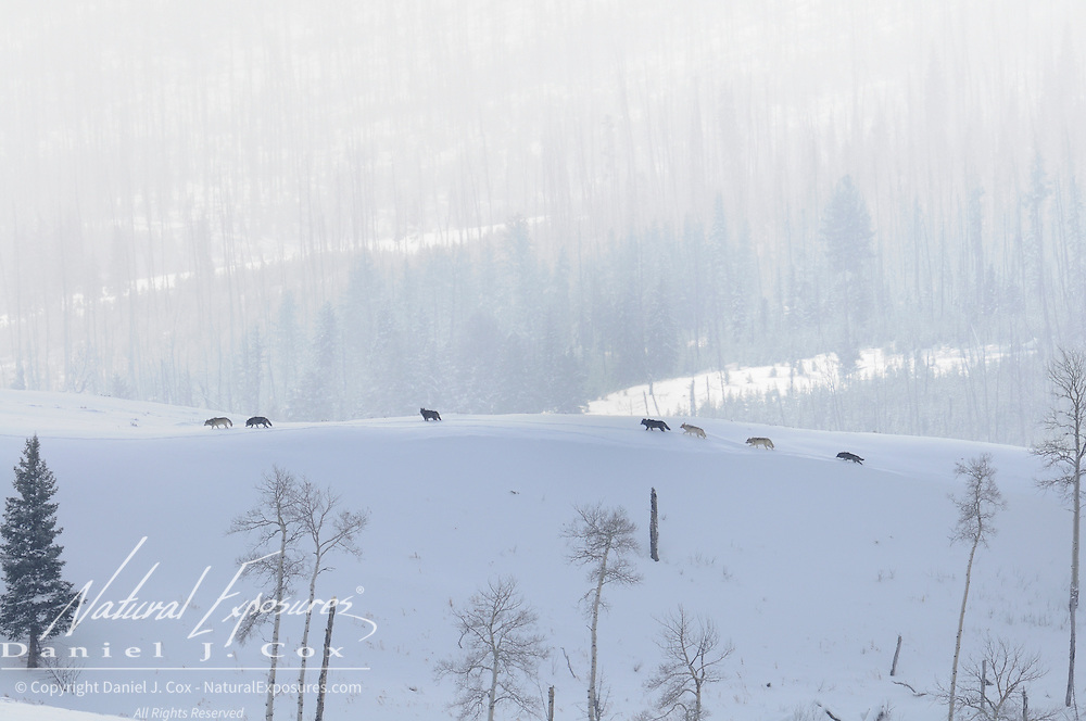 The Gray Wolf Druid pack makes its way along a ridge in the Lamar Valley, Yellowstone National Park, Wyoming.