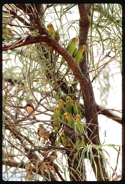Budgerigar birds and zebra finches fill branches of tree in Tanami Desert. Australia