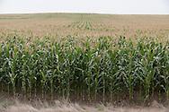 A field of corn stretches to the horizon near Dickinson, North Dakota.