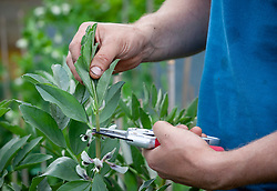 Removing the top shoots of broad beans to encourage bushy and productive growth and prevent problems with blackfly and other aphids. Vicia faba