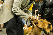 New York, NY - 16 February 2016. An eager Airedale terrirr and its handler about to  enter the ring  at the 140th Westminster Kennel Club Dog show in Madison Square Garden.