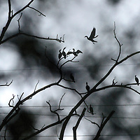 Laura Stoecker/lstoecker@dailyherald.com<br /> Seen through a dense covering of foliage, cormorants (an aquatic species) perch in a dead tree along the Fox River on a rainy night.