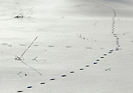 Chester, NY - Animal tracks cross the snow at Goose Pond Mountain State Park on Jan. 9, 2010.