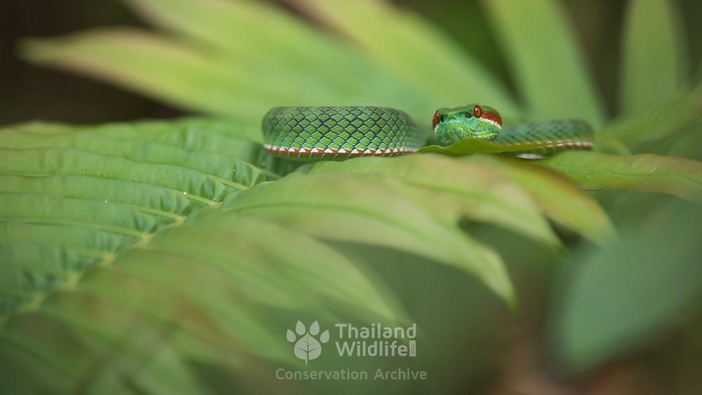Pope's Pit Viper (Trimeresurus cf. popeiorum) male in Kaeng Krachan national park, Thailand