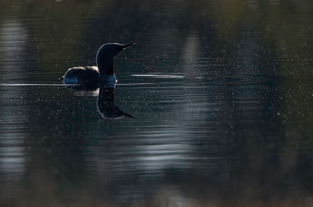 Red-throated diver (Gavia stellata) highlighted at dawn, Bergslagen, Sweden