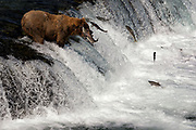 A brown bear known as #775, or Lefty, catches a leaping salmon on Brooks Falls in Katmai National Park, Alaska.