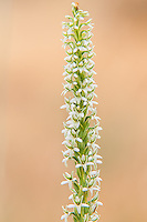 Closeup of the densely packed flowers of the elegant piperia orchid. Looking very similar to ladies-tresses orchids, these distant relatives are found in very scattered locations from British Columbia, Washington, Idaho, Montana, Oregon, and Northern California. This one was found in early summer in Washington's Klickitat County.
