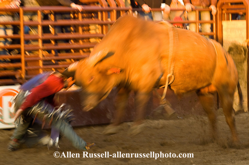 Bull Rider being mauled by bull after bucked off, Miles City Bucking Horse Sale, Montana, blurred motion, MODEL RELEASED