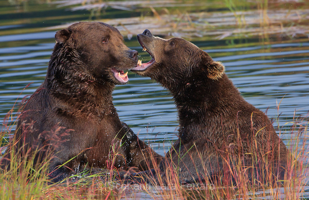 Brown Bears take a break from eating to play.  The spawned out salmon is abundant in early September so it is easy for bears to eat all they want as they fatten up for winter.