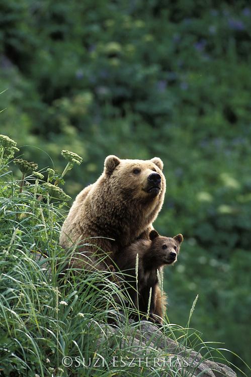 Alaskan Brown Bear<br /> Ursus arctos middendorffi<br /> Sow and 4-6 mos old cub (s)<br /> Katmai National Park, AK, USA