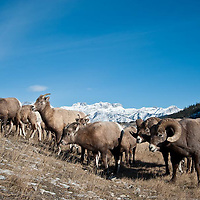 herd of bighorn sheep rams and ewes feeds on grass snowy rocky mountains background wild rocky mountain big horn sheep