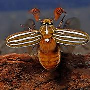 Male Ten-lined June beetle, Polyphylla decemlineata, Scarabaeidae,Sierra la Púrica, Madrean Archipelago Biodiversity Assessment (MABA) Project