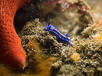 Porter's Chromodorid (Mexichromis porterae) nudibranch