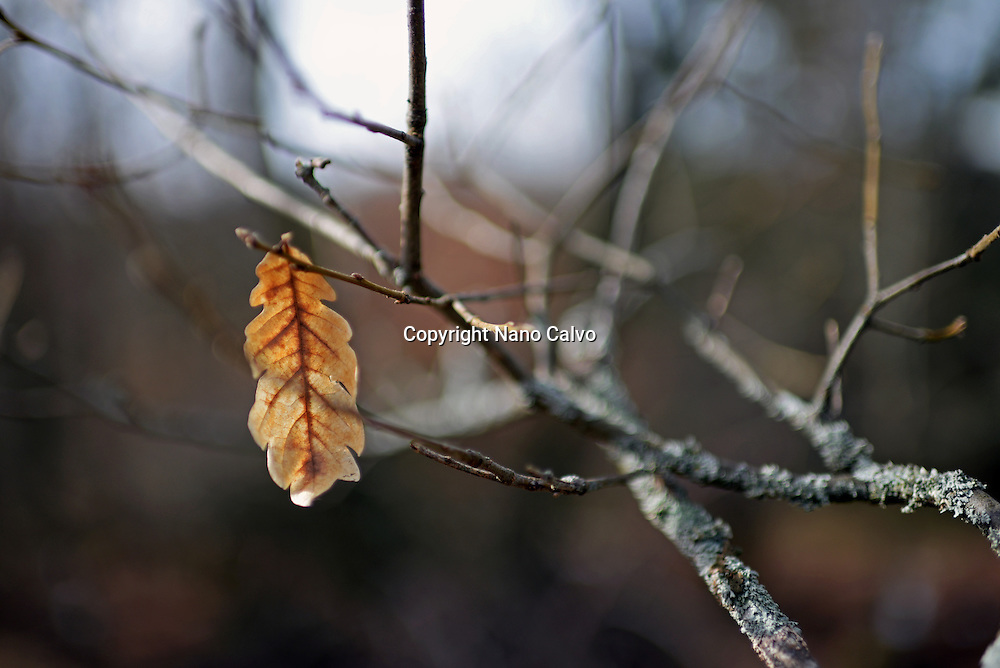 Solitary brown leaf in tree